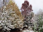 Pear, Pawpaw, Sweetgum in the snow