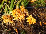 Fresh Turmeric Nov 14 2014