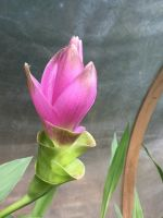 First Thai Tulip bloom