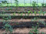Tomatoes planted in turmeric beds June 2016