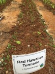 overwintered Hawaiian Red resprouting late June