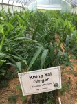 Khing Yai Ginger in the hoophouse, Aug 2018