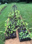 Turmeric potted starts Aug 2018