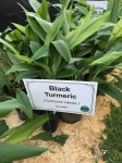 beautiful and medicinal Black Turmeric