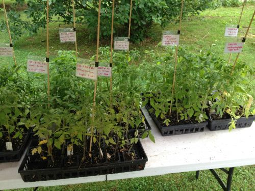 Tomato Plants for sale May 2014