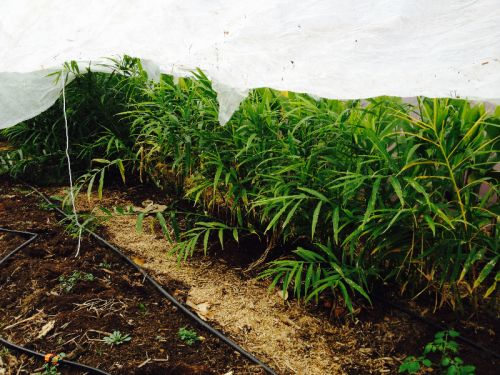 ginger plants under row cover protection