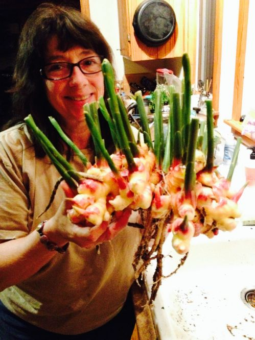 Karen with a nice cluster of Fresh Baby Ginger