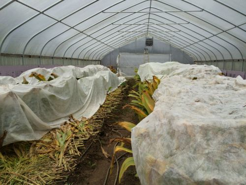 Hoophouse covered turmeric and ginger as harvest completes end of November 2015