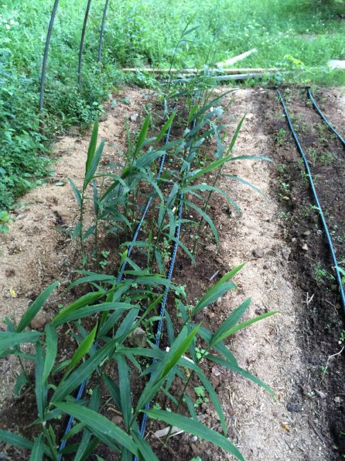 Bubba Blue Ginger in small hoop house June 2016
