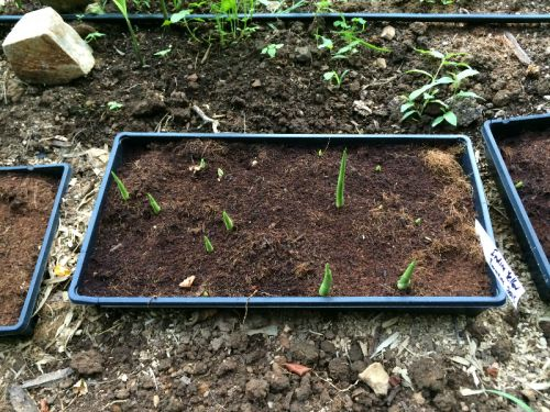 Sprouting Indira Yellow Turmeric June 2016