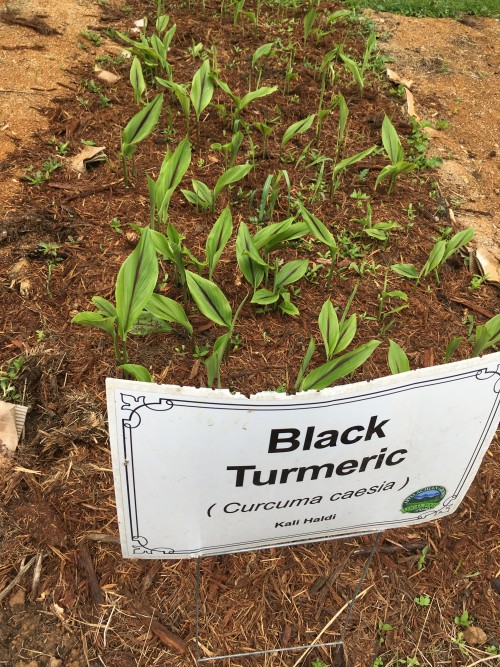 Overwintered Black Turmeric resprouting late June