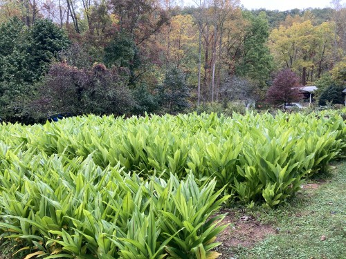 Outdoor turmeric beds with fall color