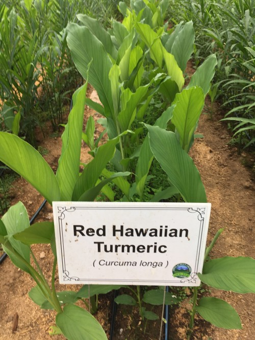 Hawaiian Red in the Hoophouse Aug 2018