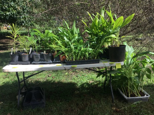 ginger and turmeric plants available this fall