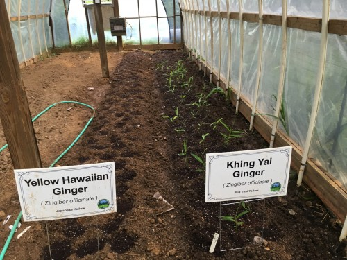 New Ginger Beds, Small Hoophouse June 2019