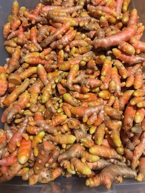 Turmeric ready for Market