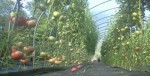 Jersey Tomatoes in the Hoop House