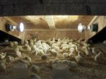 L&A broiler chicks under the heat lamps