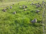 L&A hens on pasture