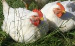L&A broilers on pasture