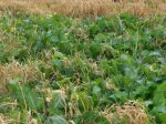 Oats and Turnips - a type of pasture we plant for our cows in the fall