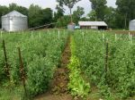 Rows of peas and lettuce in the garden