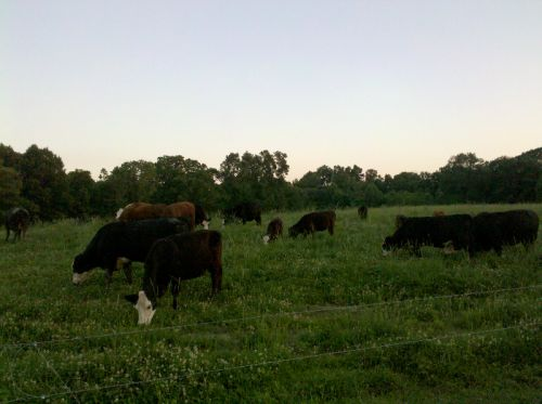 A herd of L&A cattle on pasture