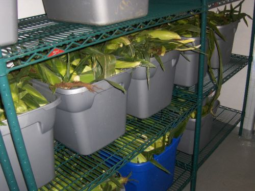 Sweet corn is kept cool in the cooler to preserve its sweetness