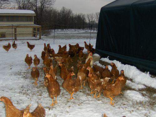 Our first batch of laying hens waking up to a snowy morning
