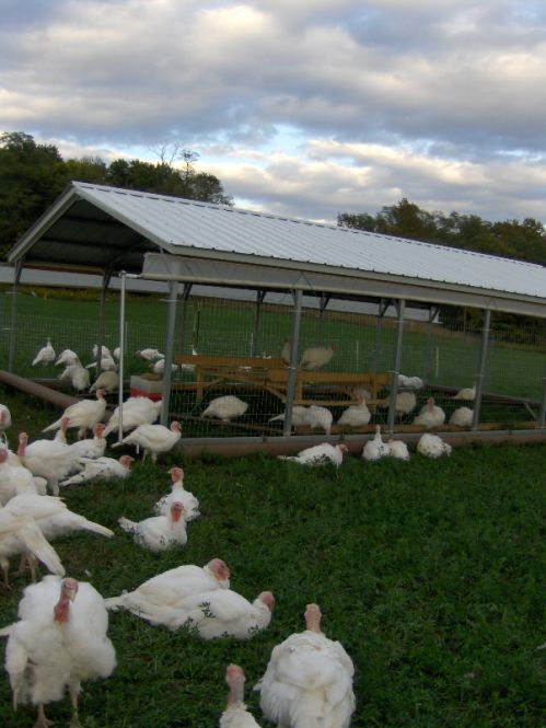 L&A turkeys in their movable pasture building