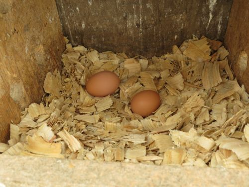 Eggs inside the nest box