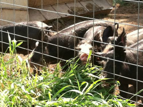 Our Berkshire hogs enjoying grass
