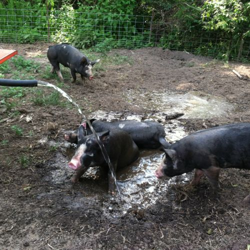Are there pigs that don't like water and mud?