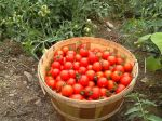 A sampling of last year's bountiful tomato crop