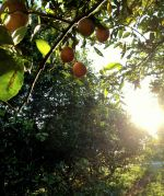 Beautiful morning in the citrus grove