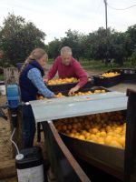 Washing citrus before sending it North