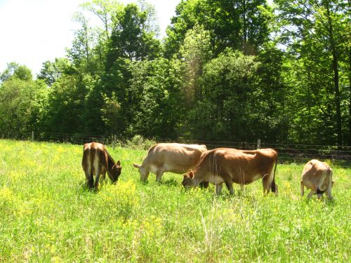 Jersery cows grazing