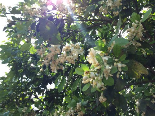 Blossoms on the grapefruit trees