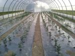 Tomatoes in high tunnel