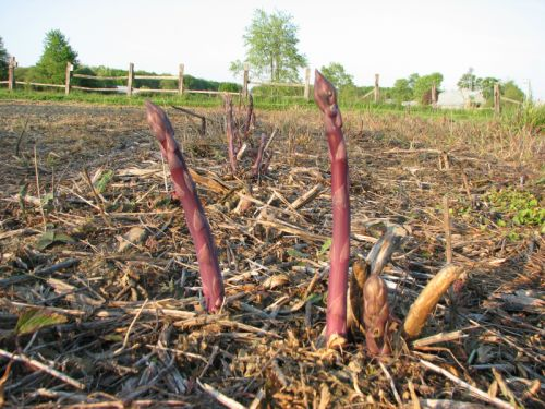 Early asparagus shoots