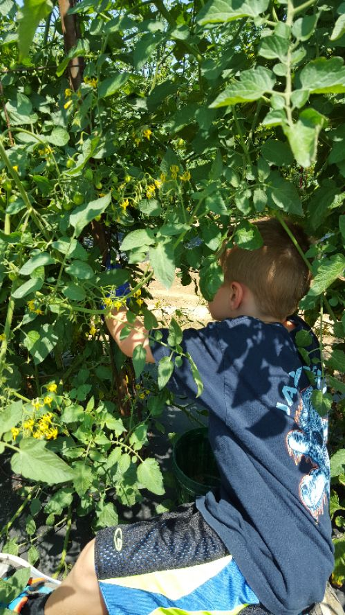picking cherry tomatoes