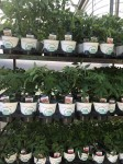 Quart pots of Organic tomatoes ready to go!