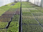 Vegetative cuttings rooting in our propagation area