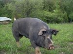 Bob our beautiful Berkshire Boar. Rip