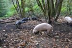 Woodland pigs foraging