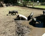 pigs wallowing on a hot day