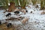 Woodland pigs in the snow