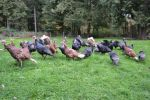 Group of our free range heritage turkeys