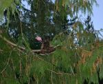 One of our turkeys roosting in a tree