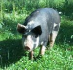 Our sow Tinkerbelle